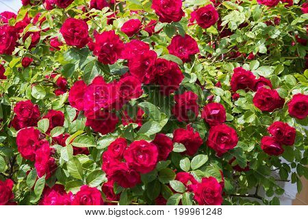 Growing red roses with green leaves all over