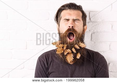 handsome bearded man with stylish mustache and autumn yellow leaves in long beard on yawning face on white brick wall background copy space