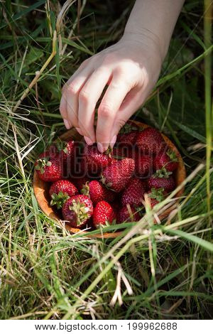 Ripe fresh stawberries on a summer grass. Close up view of woman hand picking up stawberry from a bowl.