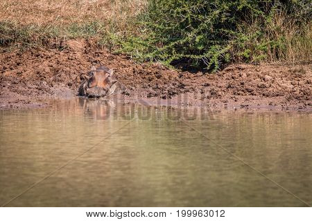 A Warthog Relaxing Next To The Water.