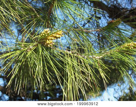 Immature male or pollen cones of pine tree ( Pinus pinaster or maritima ). Conifer cones . Tuscany Italy
