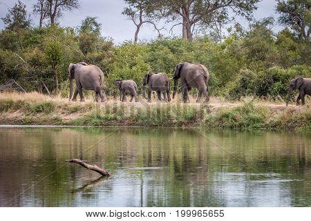 A Herd Of Elephants Walking On The Road.