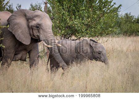 Two Elephants Walking In The Grass.
