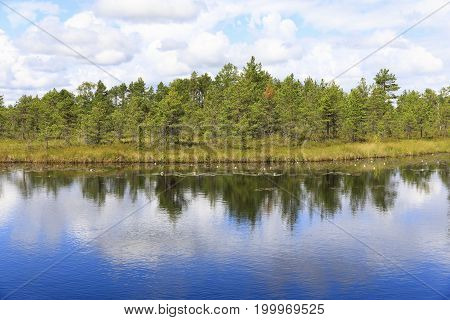 Landscape of pinetree forest behind large pond in a bog in Estonia