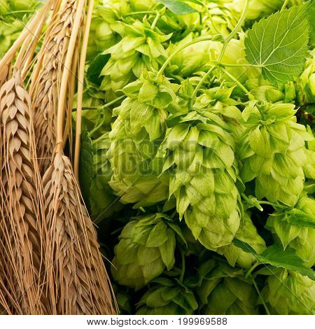 Hop Cones Isolated and Barley on the Table.