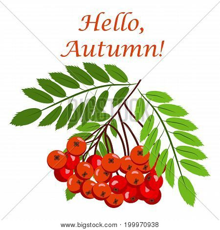 Rowan bunch berries red ripe leaf tree autumn season natural fruit vector illustration. Bunch of juicy rowan berries vitamin plant. Rowan-tree macro seasonal christmas bright delicious decoration.