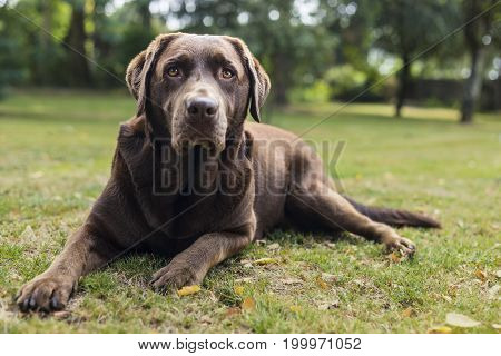 Brown chocolate labrador dog laying down on the grass and looking at the camera.