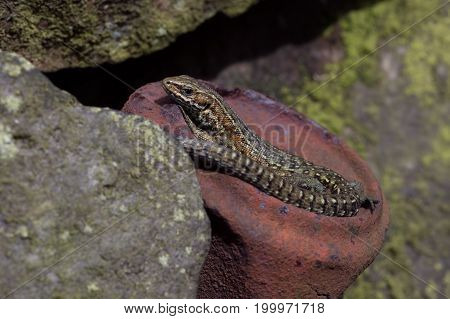 Common Lizard (Zootoca vivipara) basking on old rusted tin can