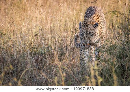 A Female Leopard Walking In The Grass.