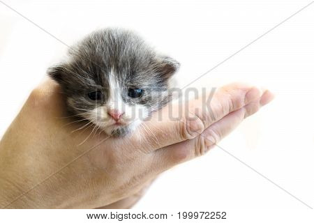 Cute Little Kitten Sitting On The Palm. Isolated On White Background