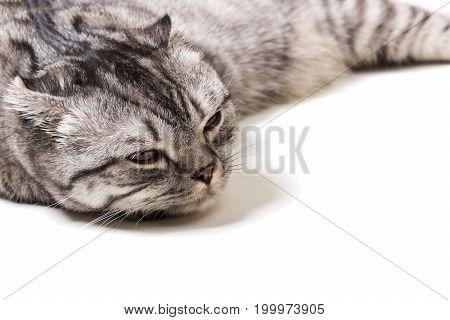 Tired Scottish kitten on a white background. Scottish kitten at a doctor's reception