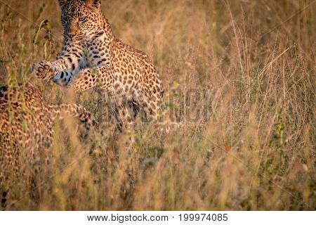 Two Leopards Bounding In The Grass.