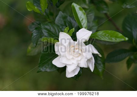 Large white Camellia flower among the dark and bright shiny leaves and blurred background
