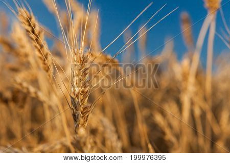 agriculture, fertility, harmony concept. wonderful bokeh for background of field and blue sky and in focus there is only one ripe ear of sunny rye, world known cereal