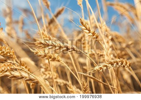 agriculture, growth, environment concept. on countryside area plenty of big vibrant straws ripening on the field of sunny barley and bending under the strong wind