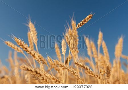 agriculture, growth, harvesting concept. on the blurred background of golden field and blue sky there are lots of wheats that are heavy with yellow mellow seeds