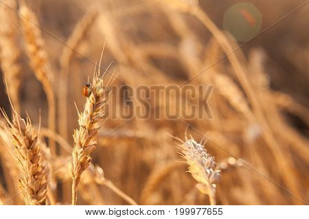 growth, environment, nature concept. close up of small heartwarming vibrant ladybug with shining red wings sitting on the golden straw of wheat with mellow grains
