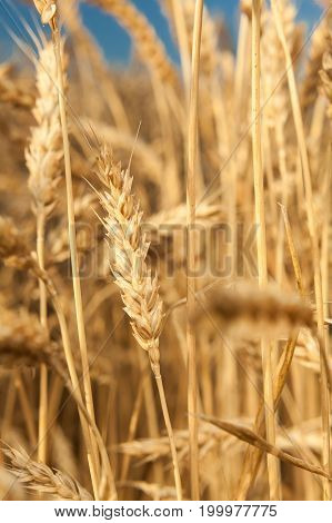 nature, outdoor, background concept. highly detailed photo of light yellow stems of mellow corn that growing up behind the rich field on the countryside