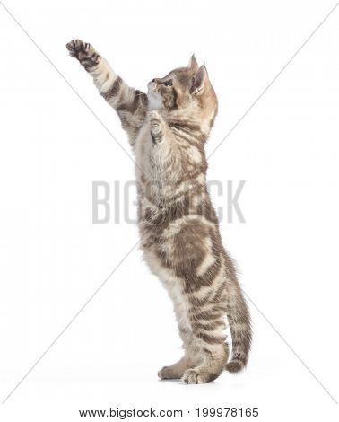 Funny cat standing side view isolated