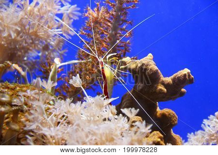 Pacific cleaner shrimp (lysmata amboinensis) on the coral reef
