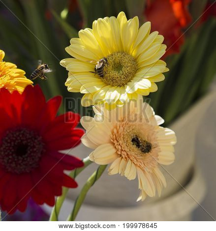 close up yellow red and pink gerber daisy with flying honey bees in sun light on blurred background