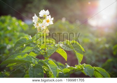 Potato Flowers Blooming In The Field.