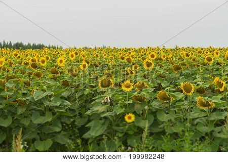 Field of flowering sunflowers. Natural floral summer background on different topics