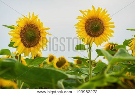 Sunflowers are very useful and look beautiful. August evening after the rain. Beautiful summer background on different topics. Natural floral summer background on different topics