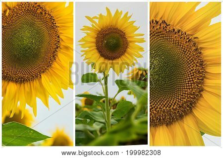Collage of organic sunflowers close-up. Beautiful vivid summer background on different topics