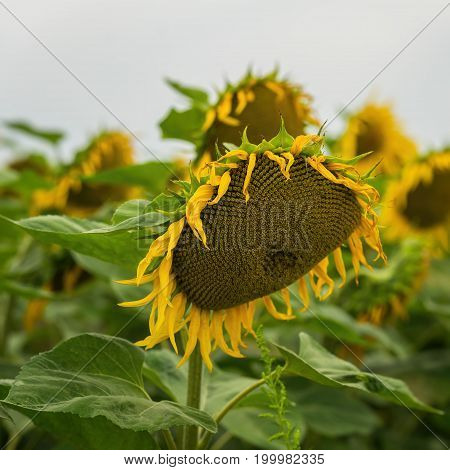 Close-up sunflower head, source of vegetable oil with amazing healing properties. Beautiful summer square background on different topics