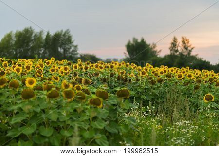 Farmer field of flowering sunflowers against the background of the sunset. August, evening after the rain. Beautiful natural summer background on different topics