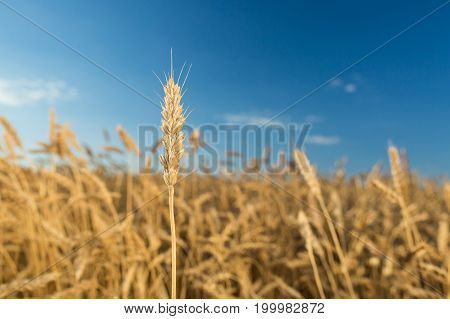 agriculture, weather, crop concept. in focus one golden straw of mellow barley against the background of field washed in sunlight under blue sky with few white clouds
