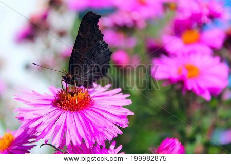 butterfly of peacock eye sitting on the aster