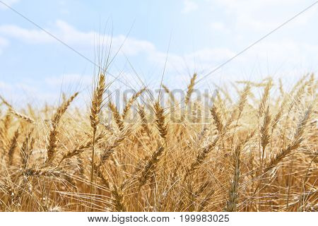 View on sunny golden wheat field. Yellow gold mature wheat rye spikelets. Yellow wheat fields. Golden spikelets of wheat under blue sky. Raw bread