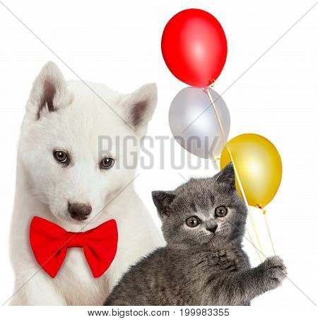Cat and dog together, Scottish kitten, Husky puppy. Party mood. Isolated on white.