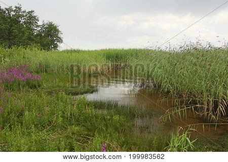 shore overgrown with reeds beautiful scenery Before the rain