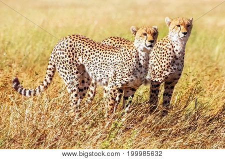 Group of cheetahs hunts in the African savannah. Africa. Tanzania. Serengeti National Park.
