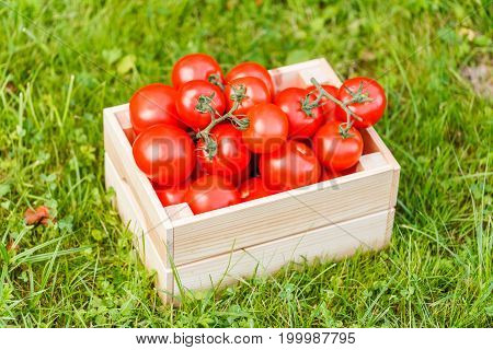 Harvest tomatoes in wooden box on green grass