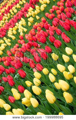 Red and yellow tulips in the garden.