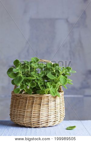 pot of cuban oregano in basket - spices and herbs