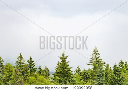 Pine Trees On Bottom Edge Of Image Standing Before A Foggy White Landscape And Cloudy Sky