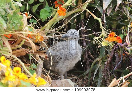 Western Gull Chick (Larus occidentalis) in California. USA