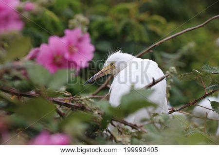 Snowy Egret (Egretta thula) in San Francisco Bay. California. USA