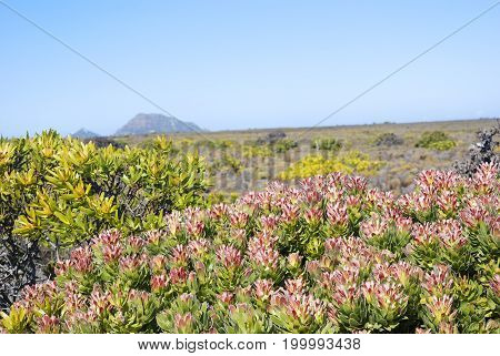 Colorful fynbos closeup bushes, taken at cape point in South Africa
