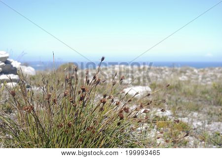 Wild grassy fynbos flower growing on the Sand near the beach at cape point in south africa