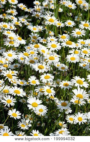 Lot of beautiful wild field chamomile flowers with white petals on meadow in summer day closeup