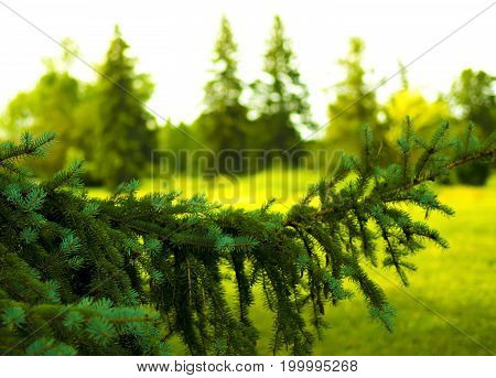 Pine tree in maisonneuve park in montreal canada