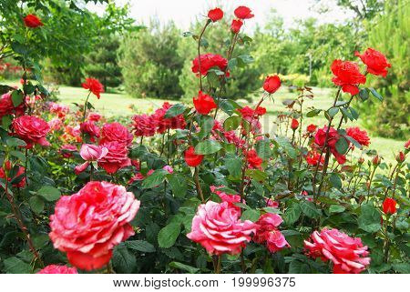 Beautiful bushes of red roses in green peaceful park