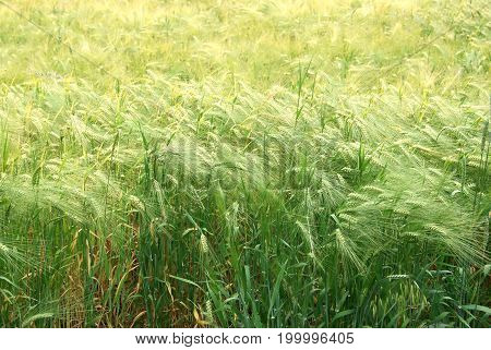 Background of field full of green rye ears ready for harvest gathering