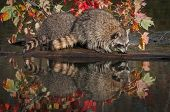 Two Raccoons (Procyon lotor) Sniff Along Log - captive animals poster